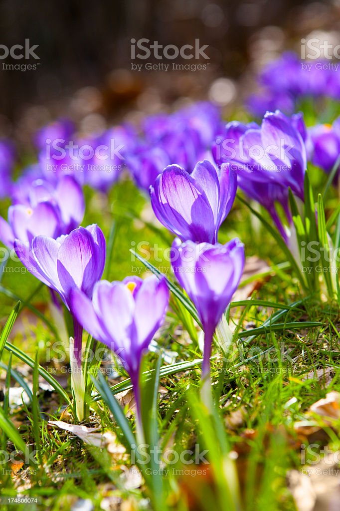 crocus flowers royalty-free stock photo