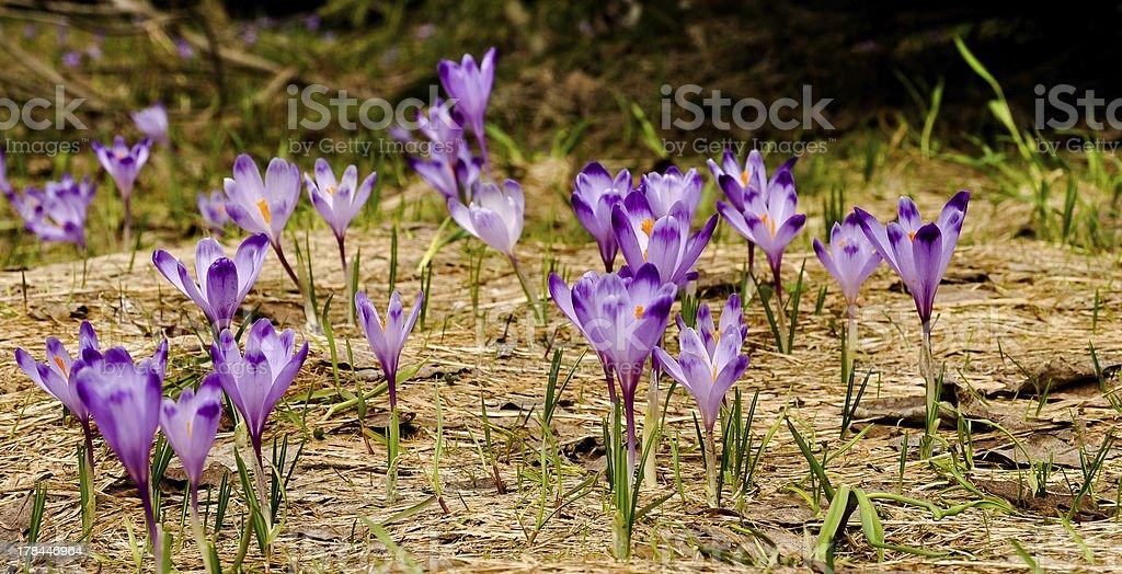Krokus Blumen Lizenzfreies stock-foto