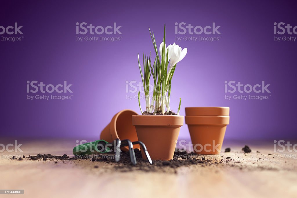 Crocus in a flowerpot on purple background royalty-free stock photo