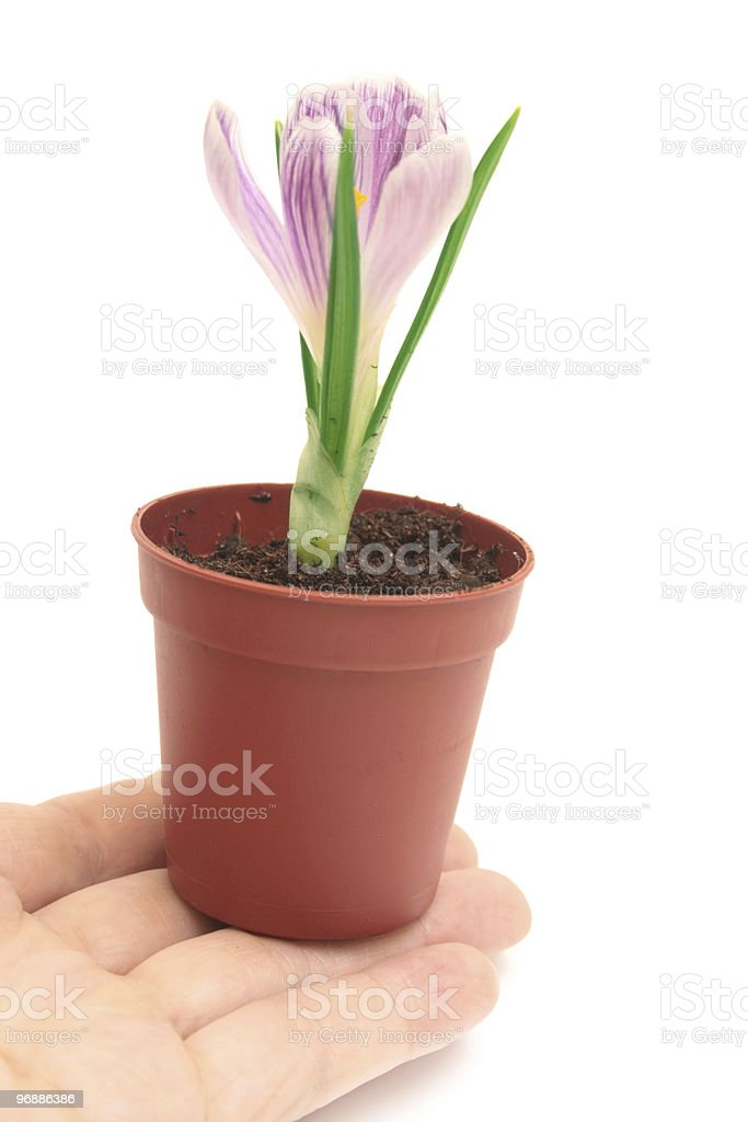 Crocus in a pot. stock photo