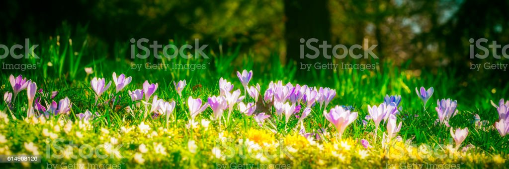 Crocus in a row stock photo