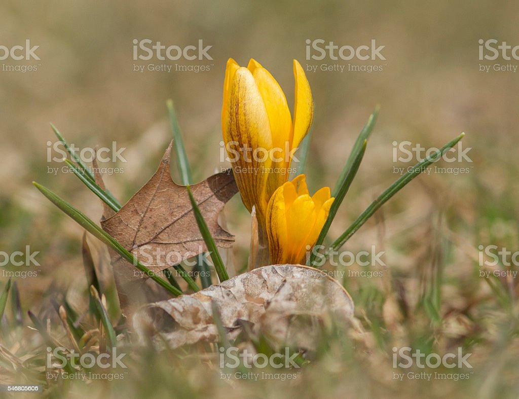 Crocus in early spring stock photo
