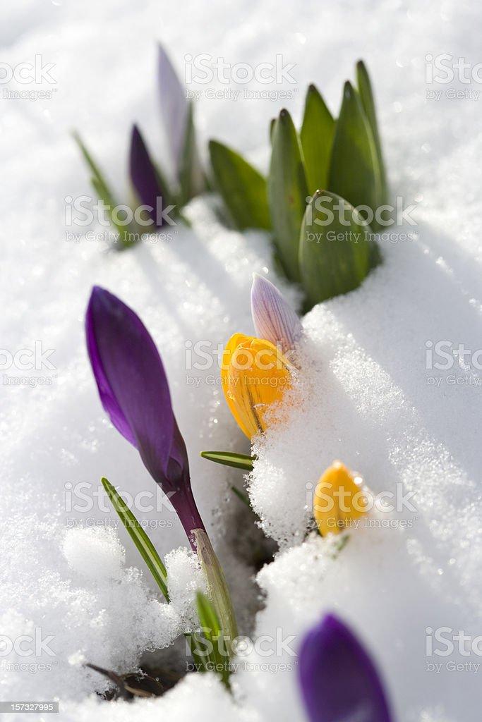Crocus in snow royalty-free stock photo