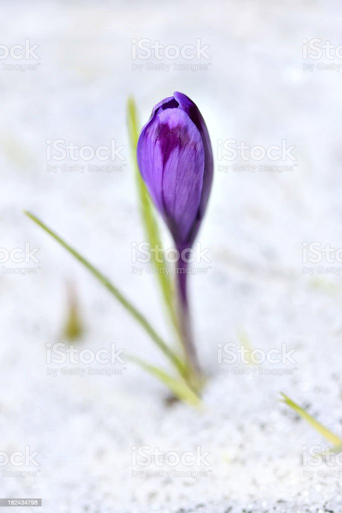 crocus in snow royalty-free stock photo