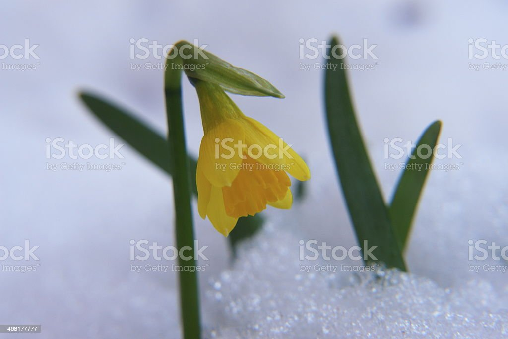 crocus in snow stock photo
