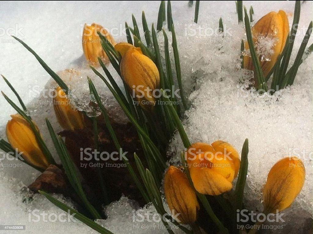 Crocus in Snow stock photo