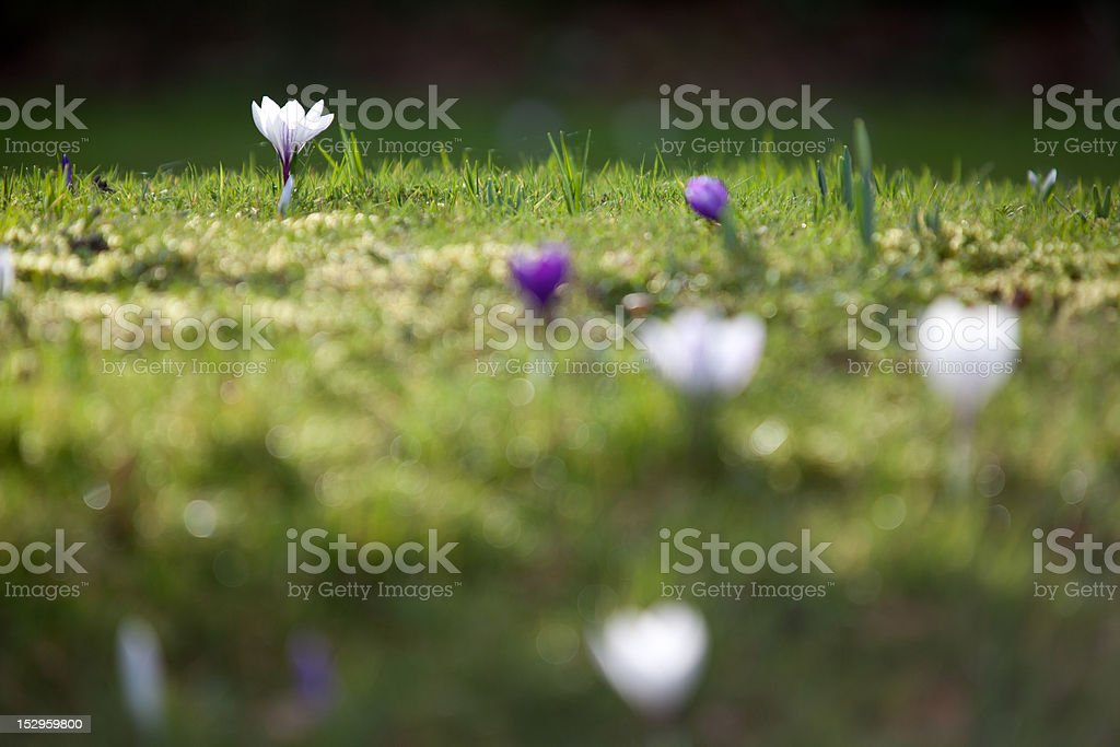 Crocus in Spring. royalty-free stock photo
