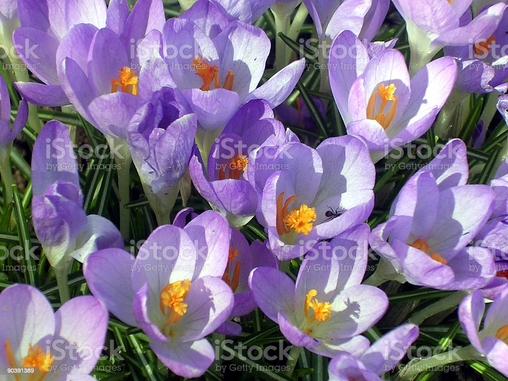 Crocus in Spring royalty-free stock photo