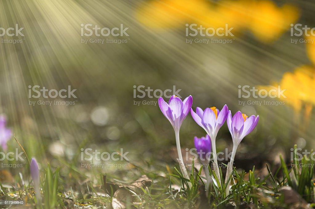 Crocus in spring sunshine stock photo