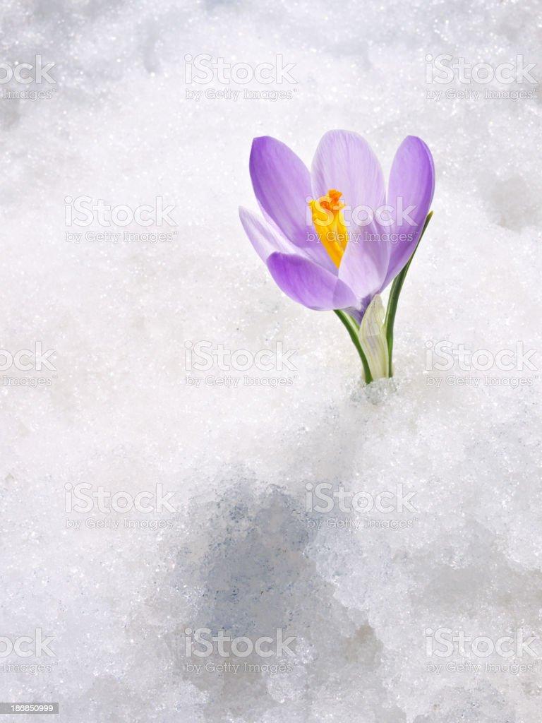 Crocus in the snow stock photo