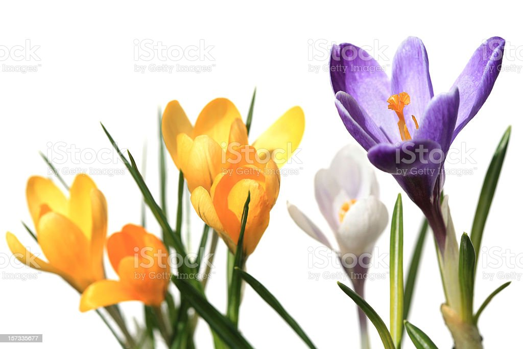 Crocus macro isolated on white stock photo
