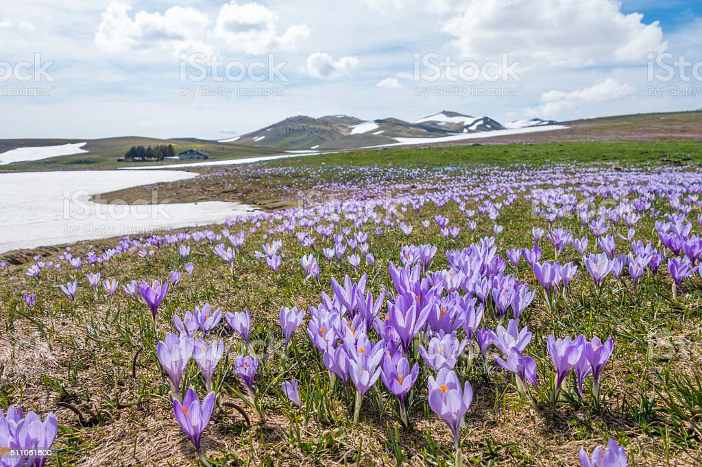 Crocus meadow Campo Imperatore, Province of l'Aquila, Abruzzi Italy stock photo