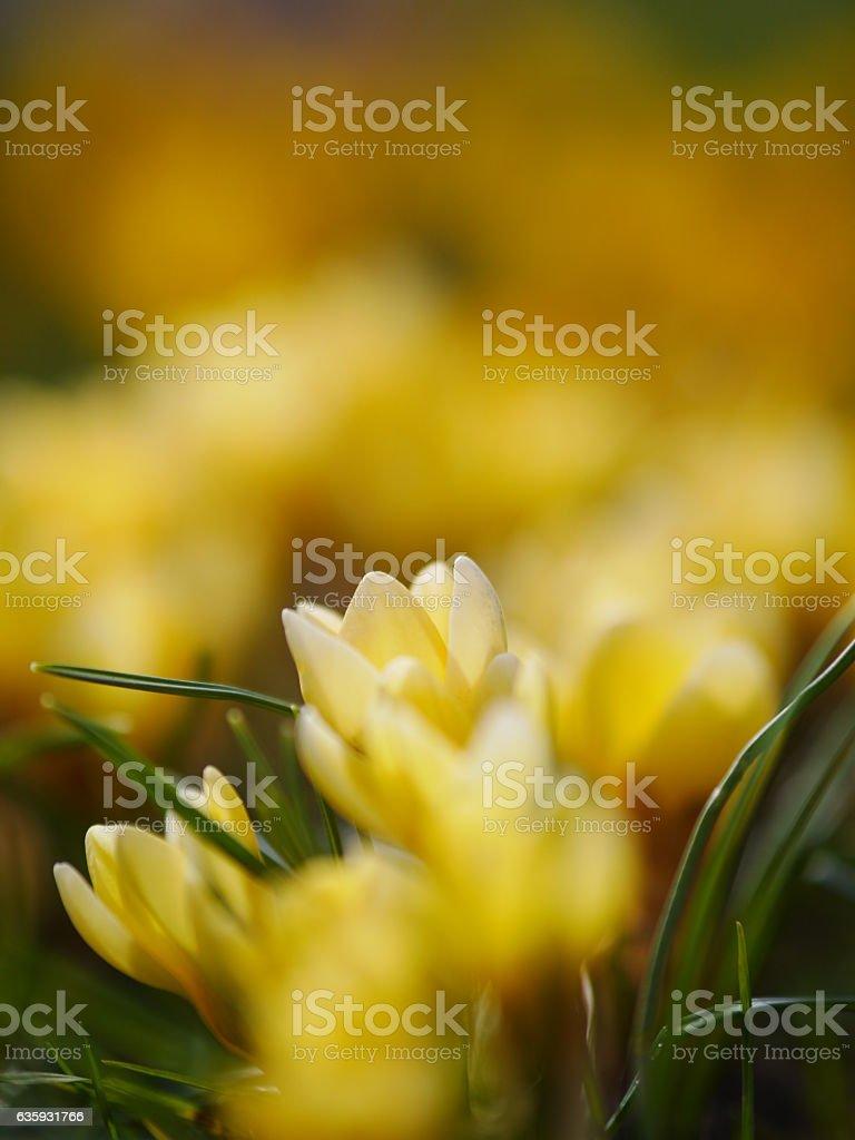crocus meadow spring stock photo