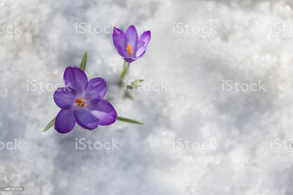 Crocus on Ice stock photo