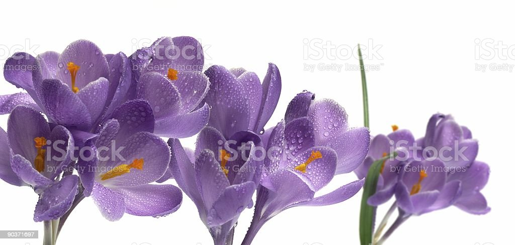 crocus on white background isolated flower royalty-free stock photo