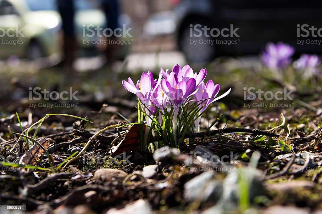 Crocus the Purple spring flower royalty-free stock photo