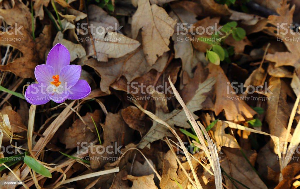 Crocus vernus (Saffron) stock photo