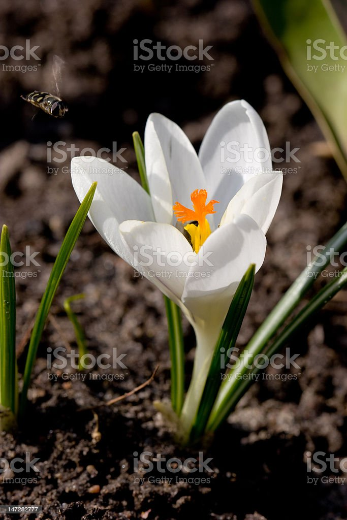 Crocus with bee royalty-free stock photo