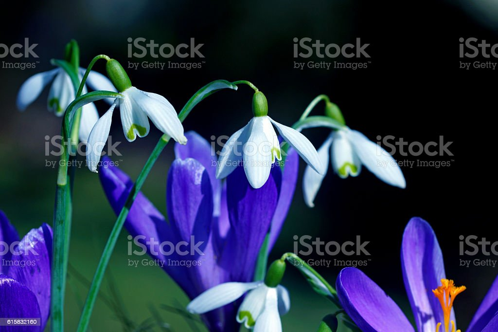 Crocuses and snowdrops stock photo