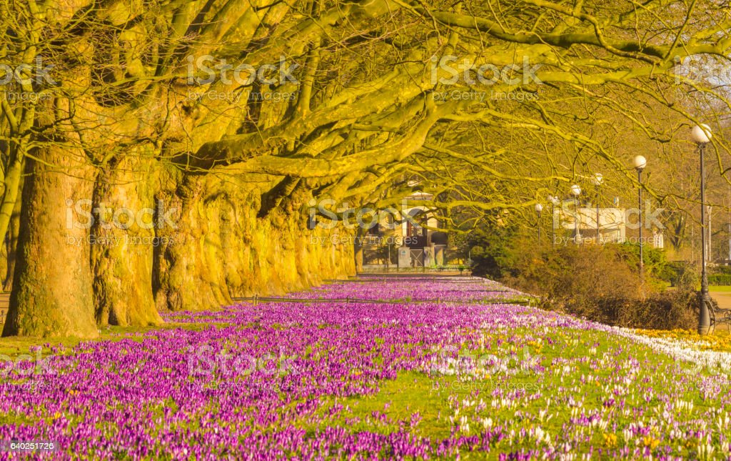 crocuses blooming in the city park stock photo