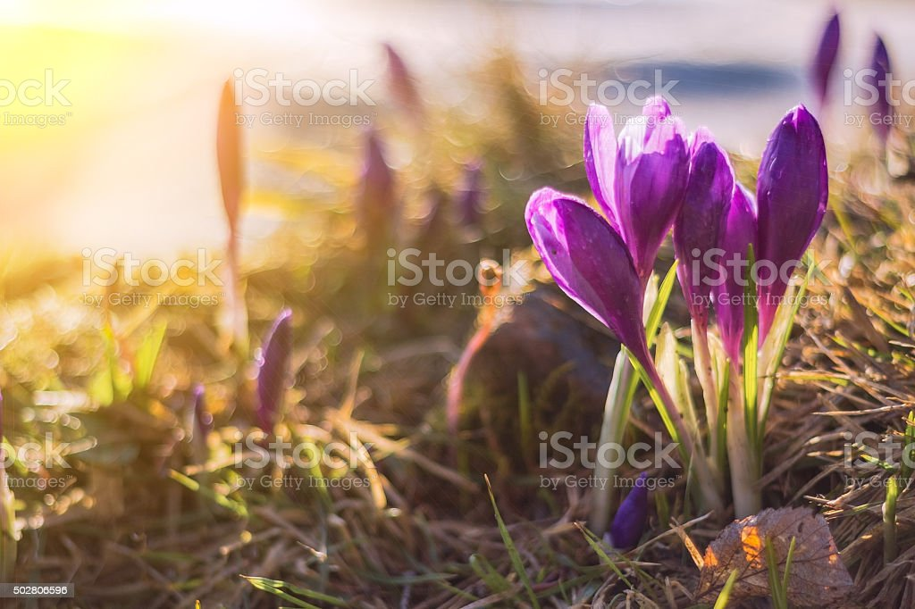 crocuses in early spring stock photo