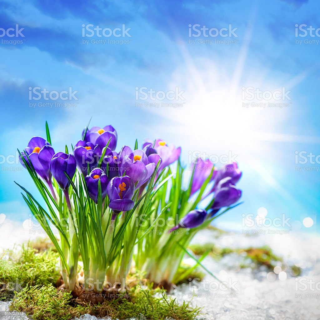Crocuses in melting snow stock photo