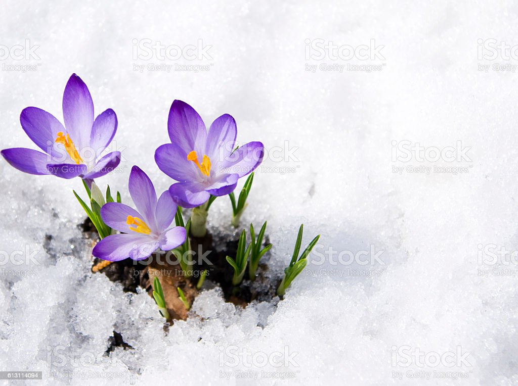 crocuses in snow stock photo