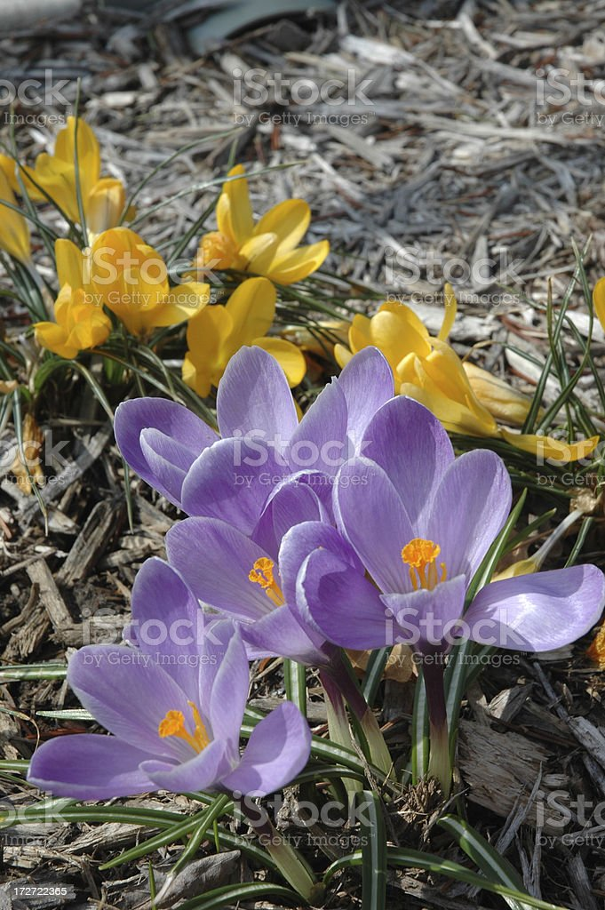 Крокусами весной цветут Стоковые фото Стоковая фотография
