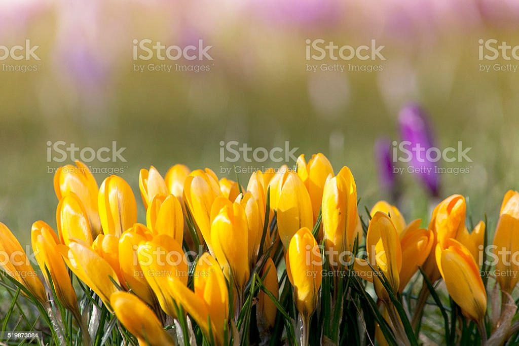 crocuses in spring time with soft beautiful background stock photo