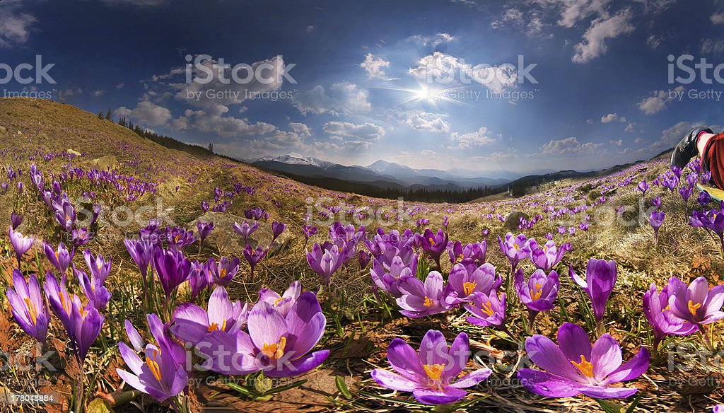 Crocuses in the mountains royalty-free stock photo