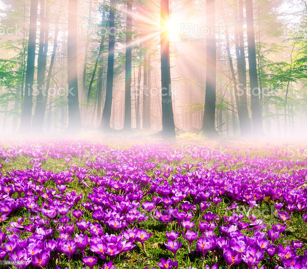 Crocuses in the rays stock photo