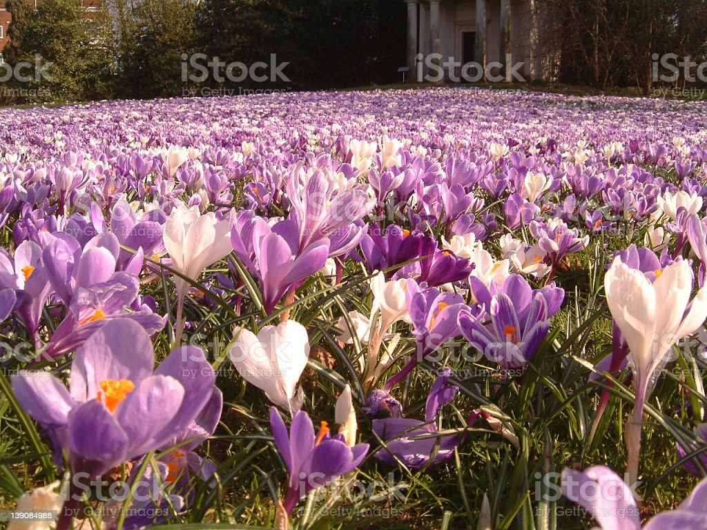 Crocuses stock photo