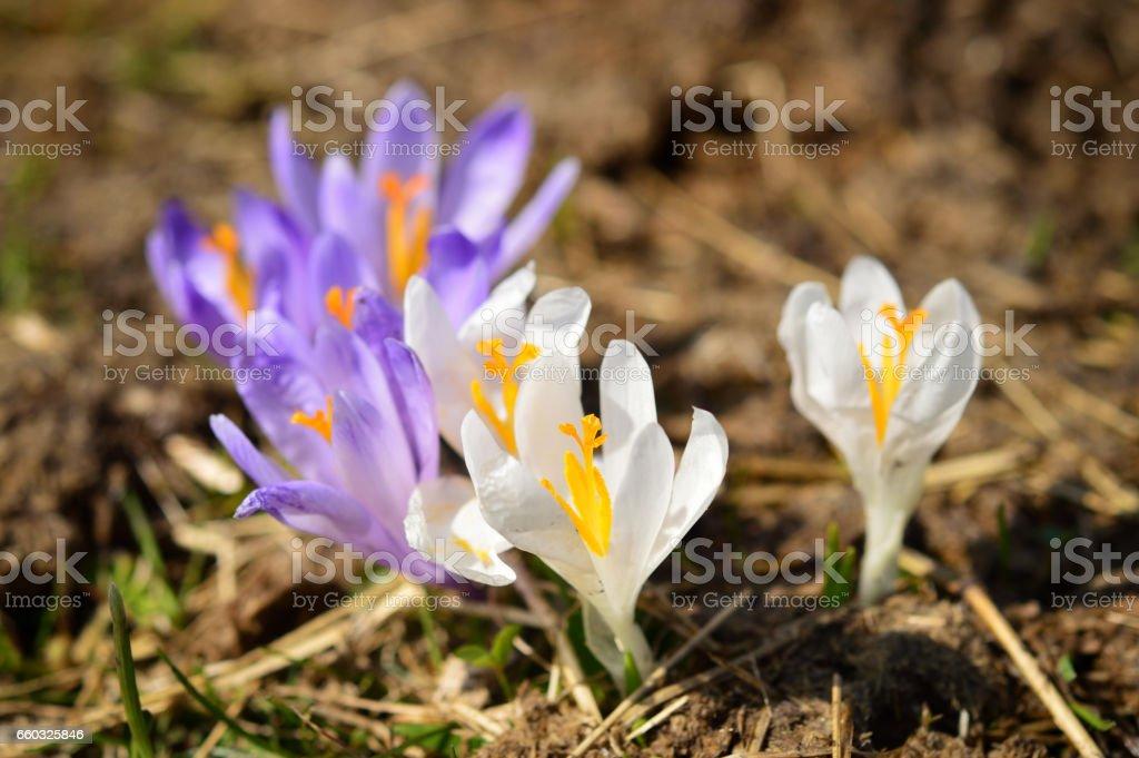 Crocuses wild flowers on spring meadow stock photo