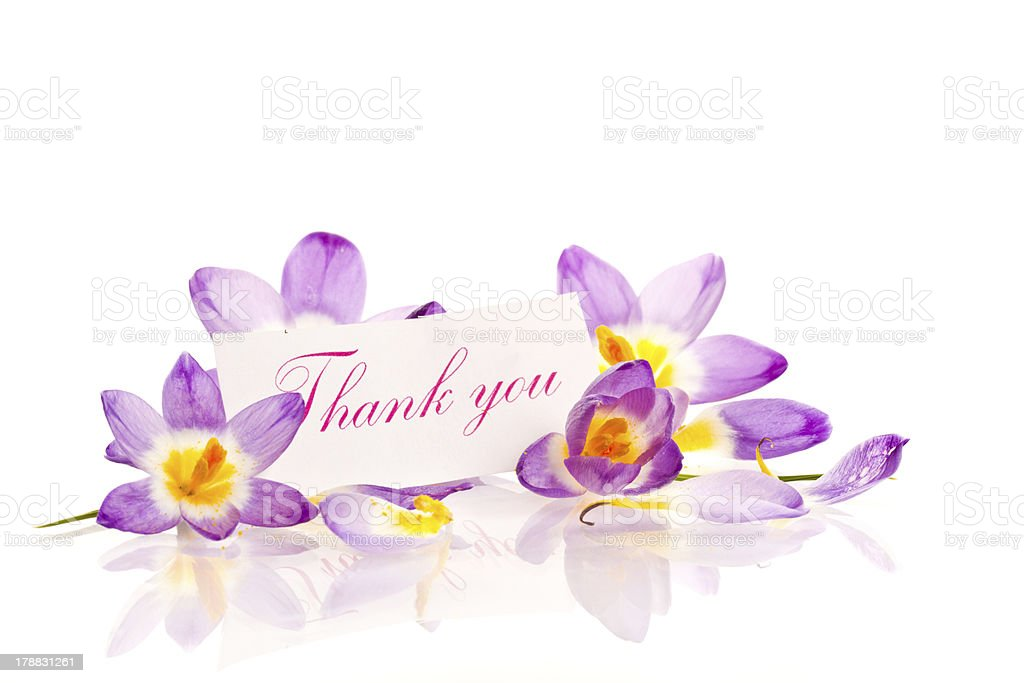 Crocuses with gratitude royalty-free stock photo