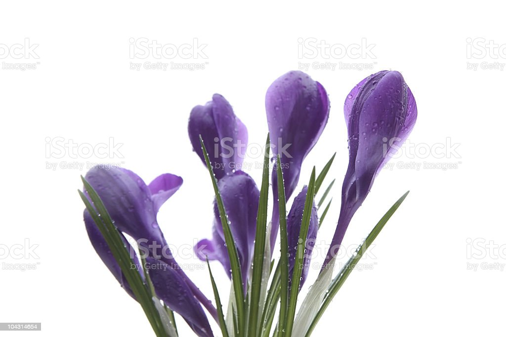 Crocuses with raindrops royalty-free stock photo