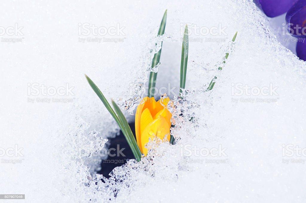 Crocuses with snow stock photo
