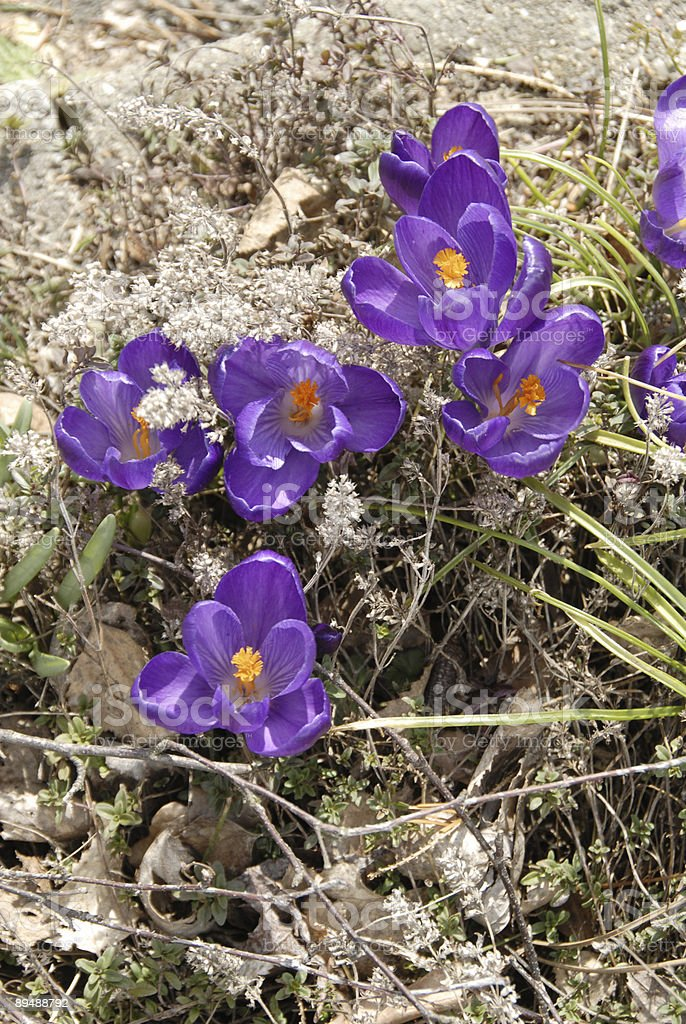 crocusses royalty-free stock photo