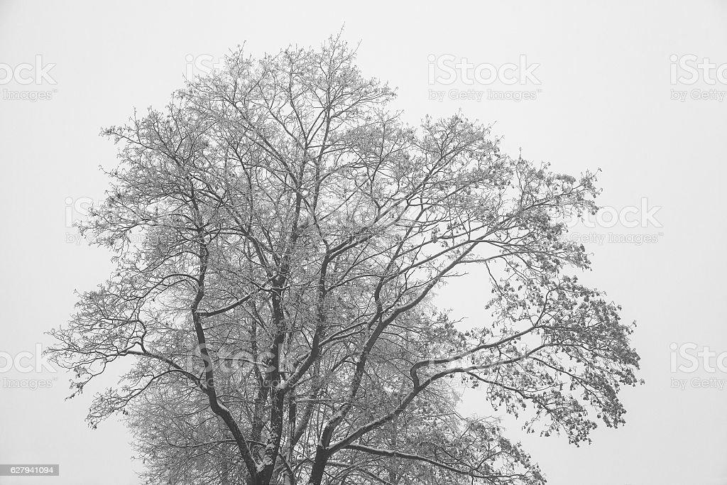 Crohn tree in winter. Bare branches, tree silhouette stock photo