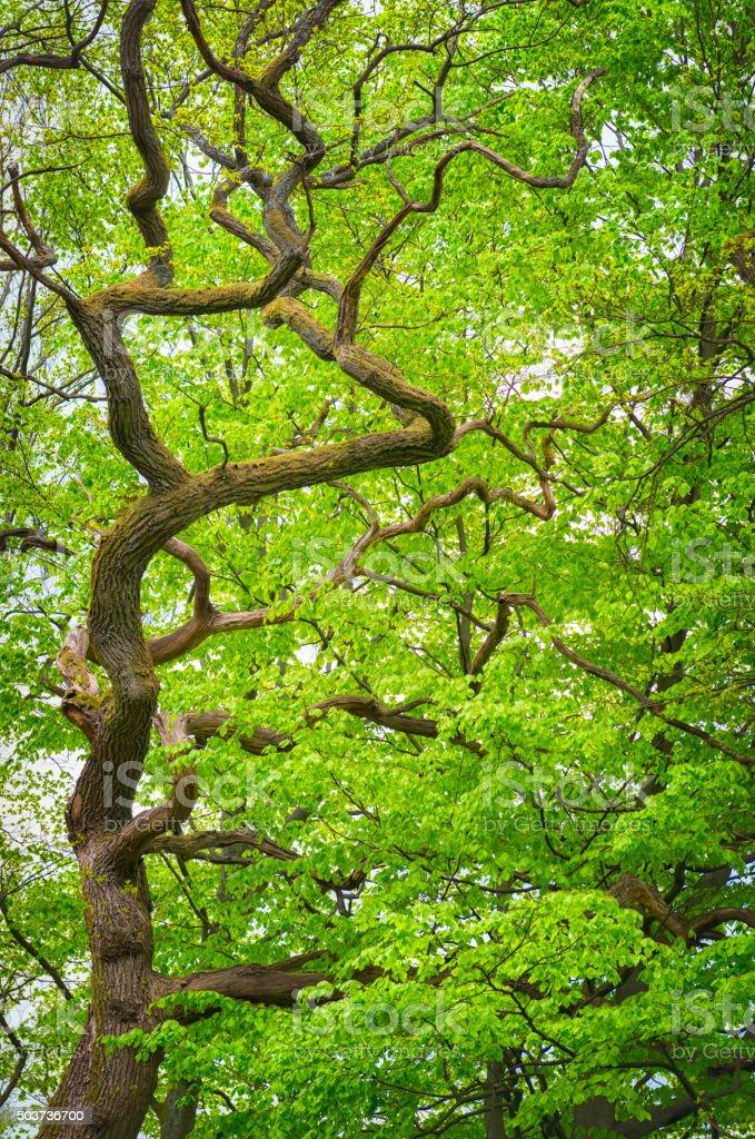 Crooked tree in springtime stock photo