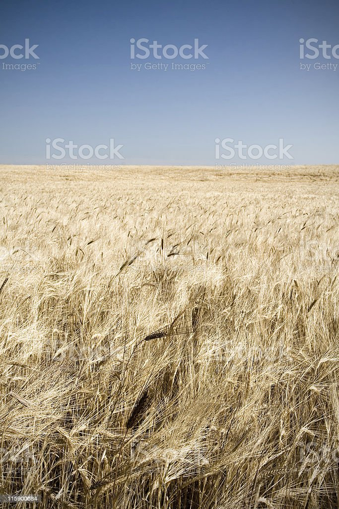 Crop field in summer royalty-free stock photo