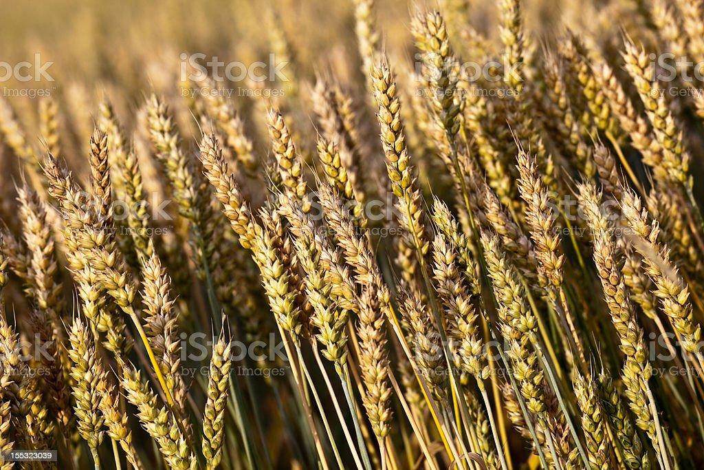 Crop fields royalty-free stock photo