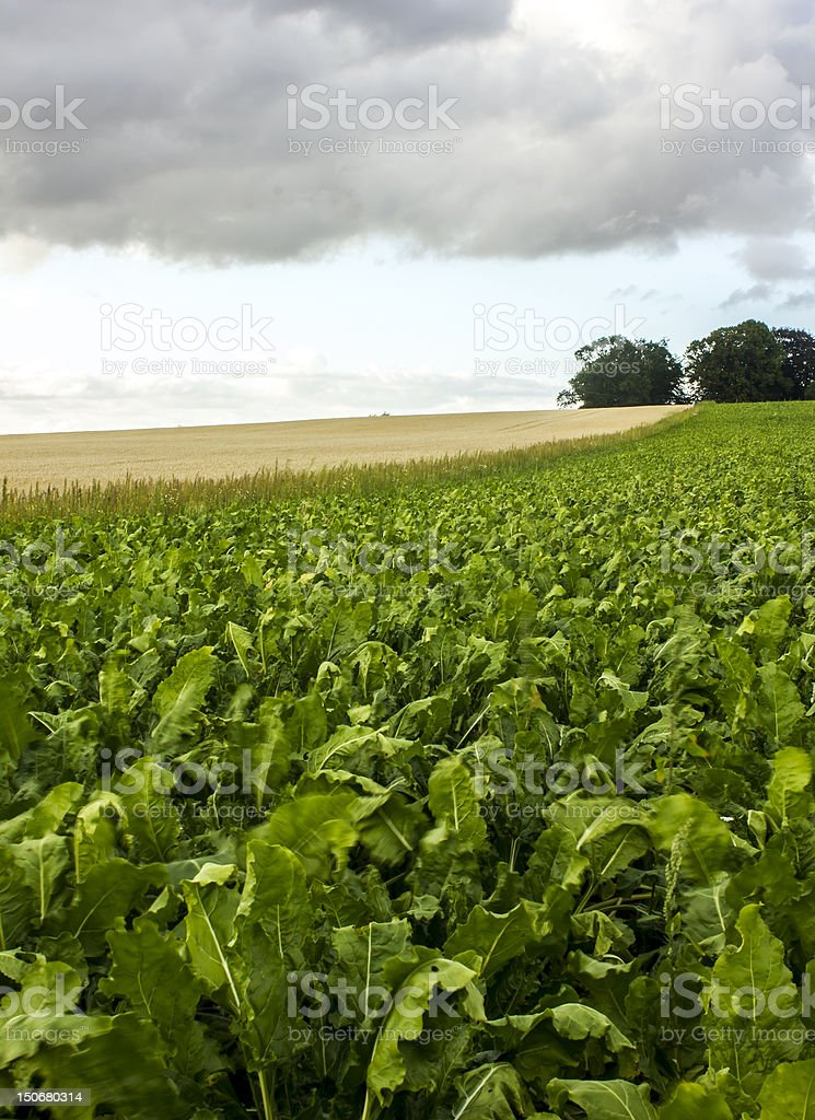 Crop fields vertical royalty-free stock photo