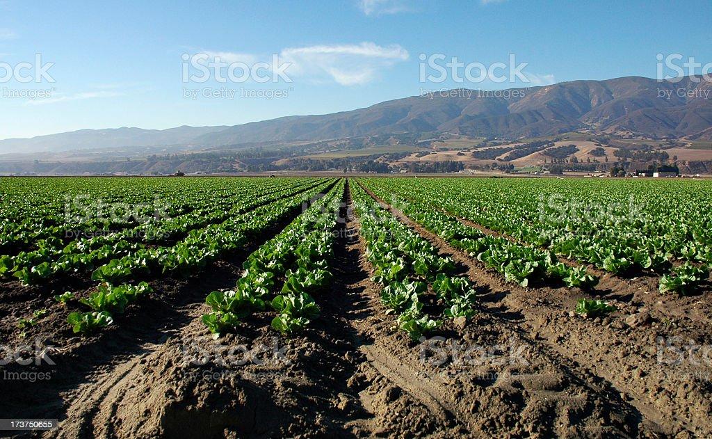 Crop in Salinas Valley stock photo