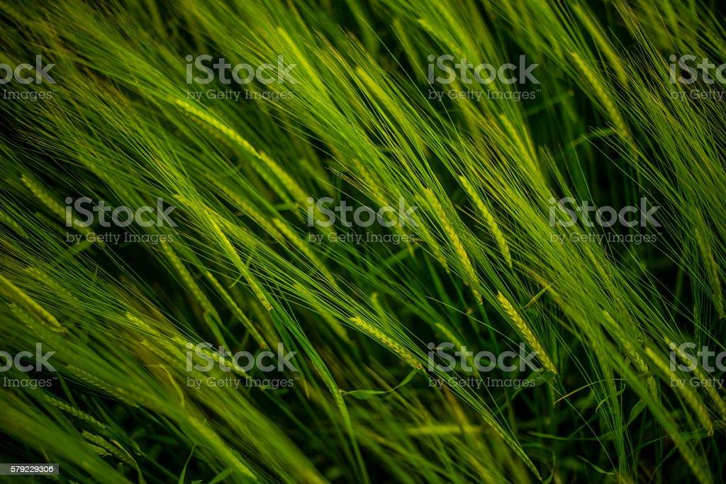 crop of barley stock photo