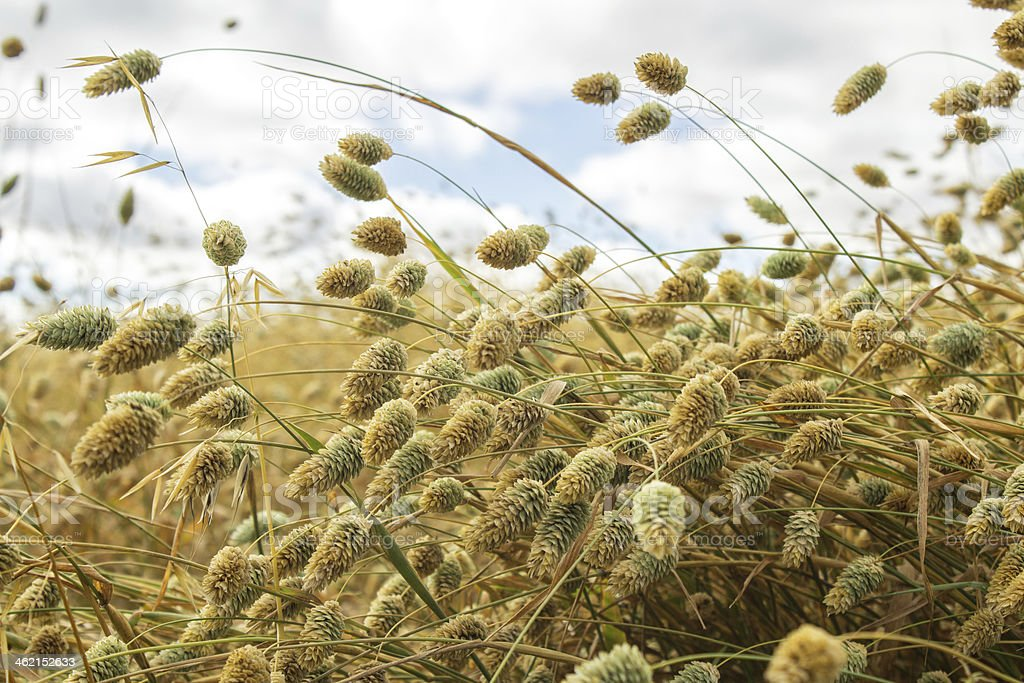 Crop of canary seed royalty-free stock photo