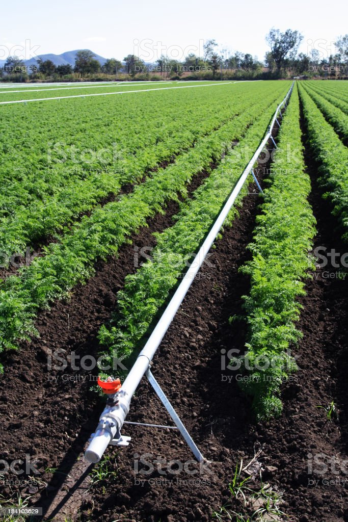 Crop of carrots with a white irrigation pipe stock photo
