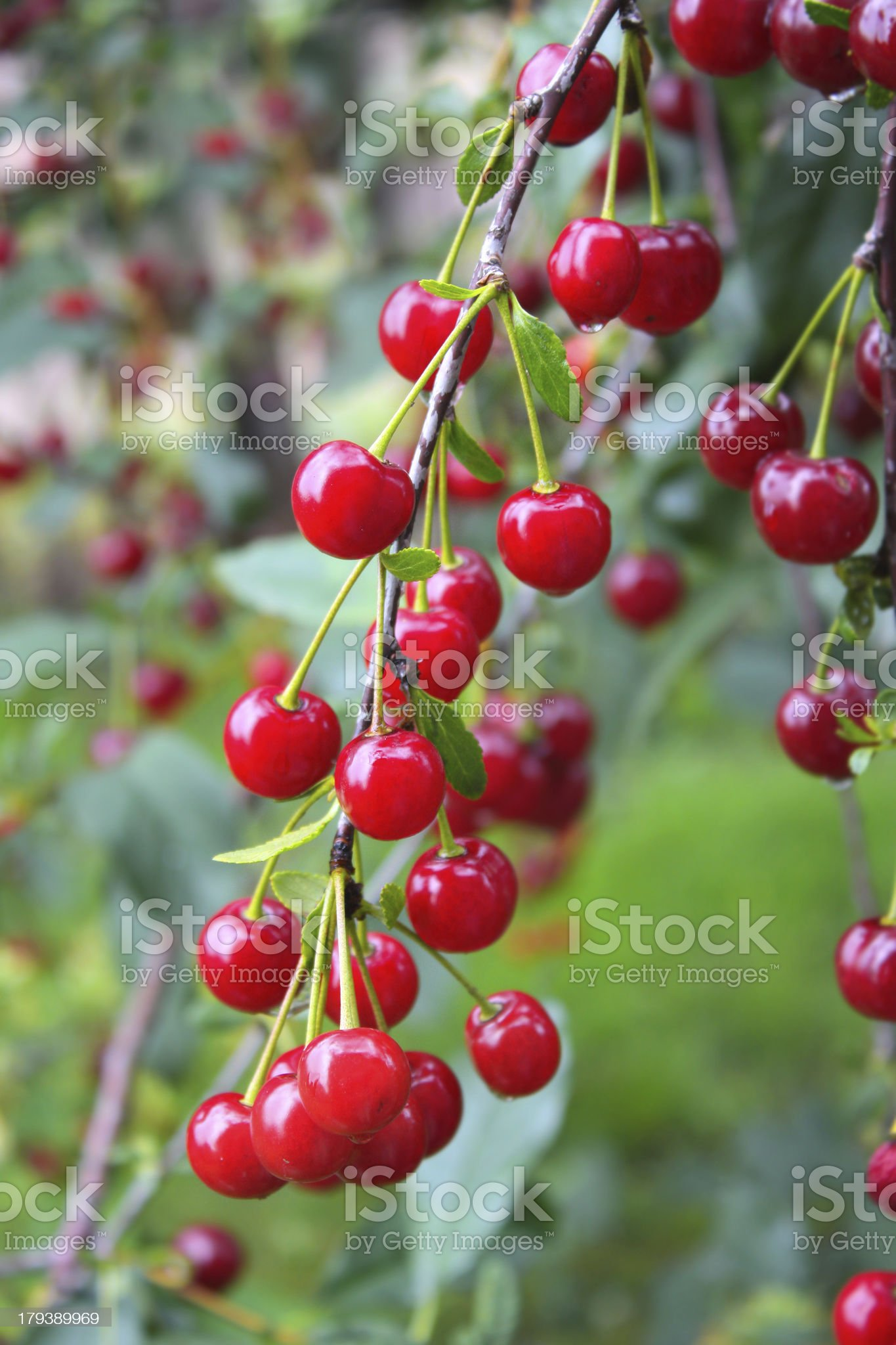Crop of cherries royalty-free stock photo