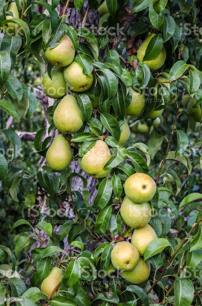 Crop of pears waiting for harvest stock photo