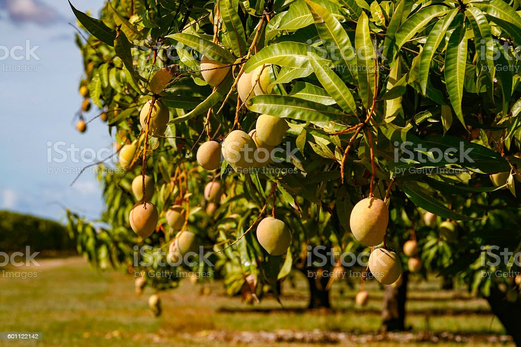 Crop of sun-kissed mango fruit ripening on tree stock photo