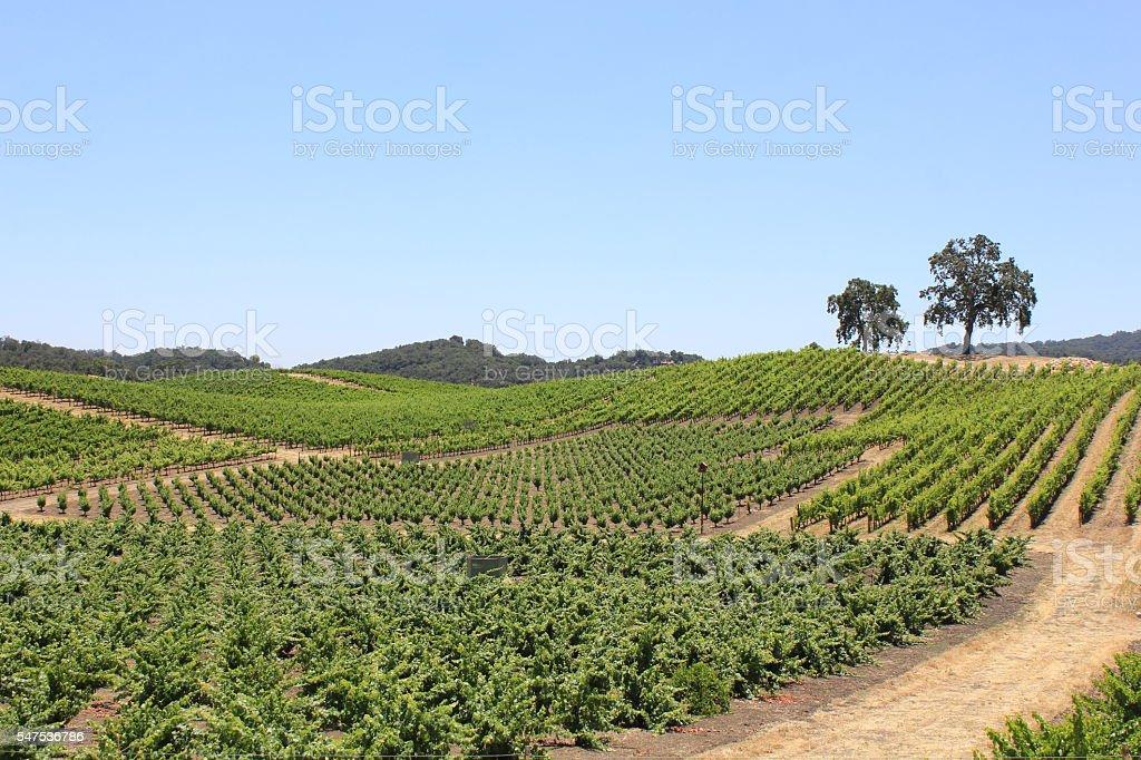 Crop Rotation on a Vineyard stock photo